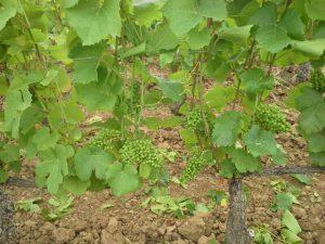 Effeuillage sur vigne d'Aloxe Corton, stade pré-fermeture de grappe 2
